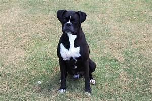 black boxer puppiestml