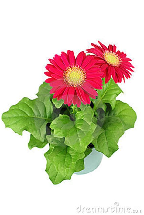 gerbera flowers in a pot royalty free stock images image 9826909