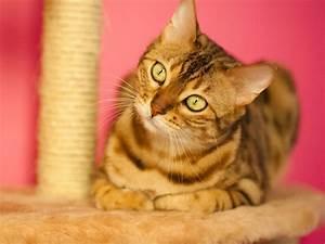 Was Brauchen Katzen : sind sie bereit f r eine bengal katze 3 bedingungen ~ Lizthompson.info Haus und Dekorationen