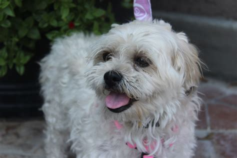 lhasa apso poodle mix pictures breeds picture