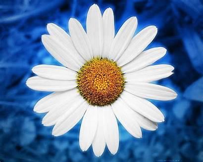Daisy Desktop Flowers Wallpapers Energy Computer Daisies