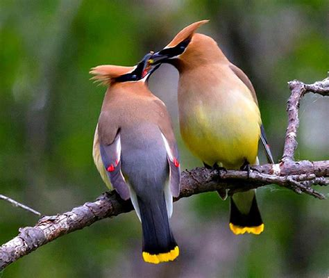 birds waxwing henry e hooper