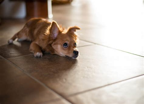 best floors for dogs best flooring for dogs quiet corner