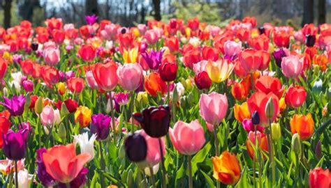 Garten Tulpen Pflanzen by Tulpen Setzen Im Eigenen Garten Am Besten Schon Im Herbst