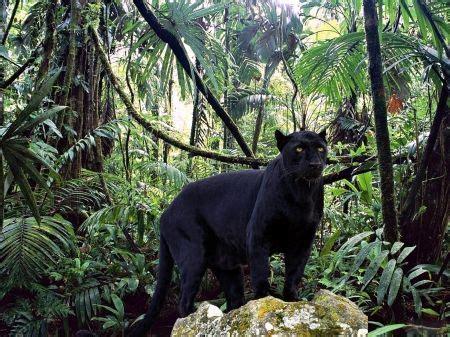 Black Jaguar Habitat by Rainforest Animals Black Jaguar Panther In Forest