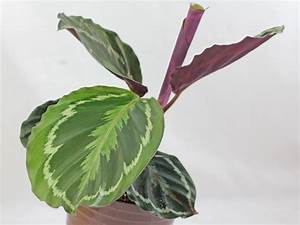 Calathea Blätter Rollen Sich Ein : calathea roseopicta ~ Orissabook.com Haus und Dekorationen