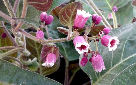 la mo long pflanze paederia lanuginosa thai und