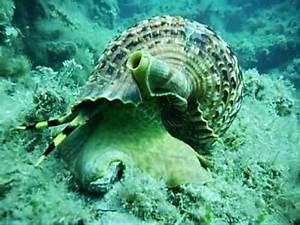 www.stnicksdiving.com giant sea snail - YouTube