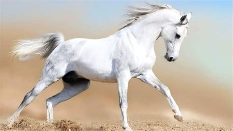 running horse animal arabian nice animals hd pure horses arab stallion cavallo paard run majestic head birds dangerous caballos caballo