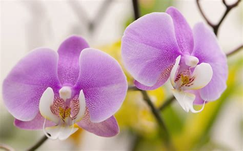 How to Grow Phalaenopsis Orchids