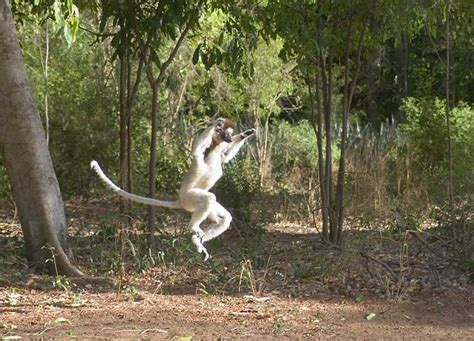 Dimijian Images Verreaux leaping 1