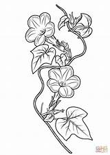 Ivy Coloring Morning Glory Drawing Pages Leaf Flower Printable Glories Drawings Template Tattoo Line Sketch Templates Supercoloring Designlooter Adult 92kb sketch template