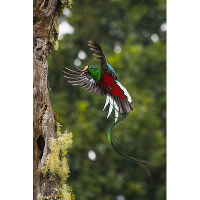 ˚Resplendent QuetzalIn FlightPinterest