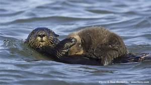 California's Sea Otter Numbers Holding Steady | SEAOTTERS ...