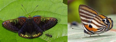 butterflies  ecuador greenwings wildlife holidays
