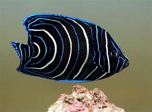 Buy Blue Koran Angel Fish Online and On Sale at www ...