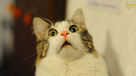 cat diabetes the human is away bagheera the diabetic cat