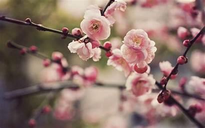 Cherry Blossoms Spring Blossom Wallpoper Trees
