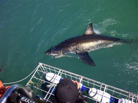 4 1 2 meter great white picture of great white shark tours gansbaai tripadvisor