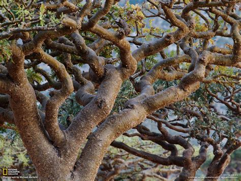 growing frankincense socotra photo gallery pictures more from national geographic magazine