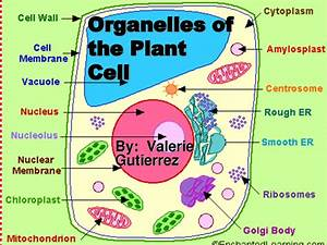 Organelles Of The Plant Cell Pic 1   Biological Science