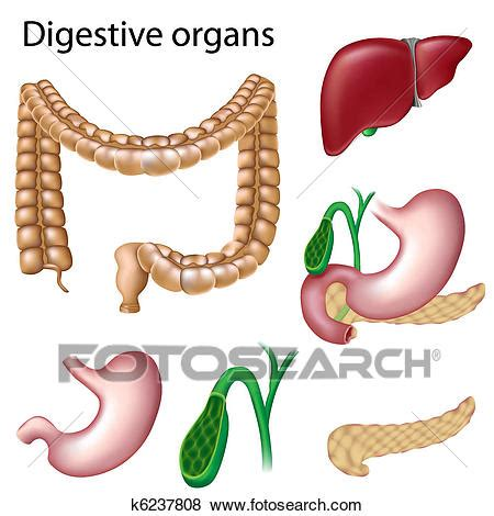 digestive organs isolated clip art  fotosearch