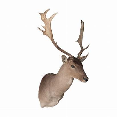 Fallow Deer Mount Taxidermy Mounts Taxidermytrophiesforsale