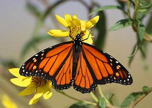 Monarch Story - Save Our Monarchs