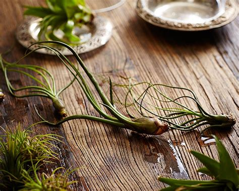 air plants watering gardening 101 how to water an air plant gardenista