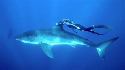 woman grabs fin  great white shark  happened