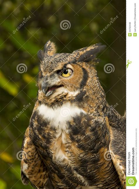 great horned owl royalty  stock  image