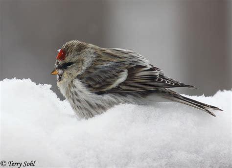 common redpoll south dakota birds  birding
