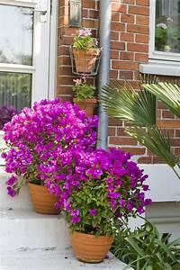Bougainvillea Blüht Nicht : exotische pflanzen bougainvillea drillingsblume ~ Lizthompson.info Haus und Dekorationen