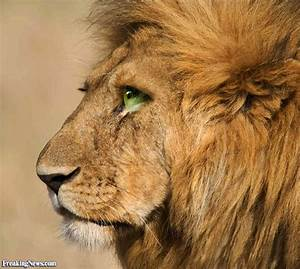 Lioness Brown Eyes