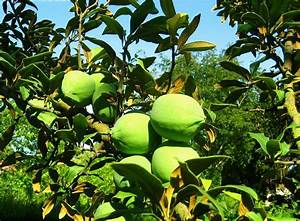 What Is Quince Fruit: Learn About Growing Quince Trees