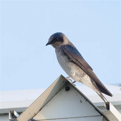 female purple martin flickr photo sharing