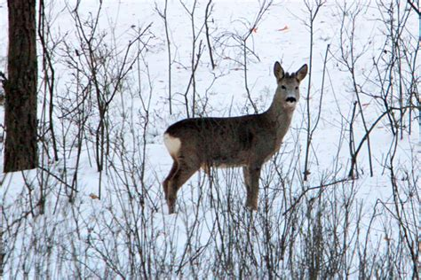 Bambi In The 21st Century Roe Deer Not Adapting To