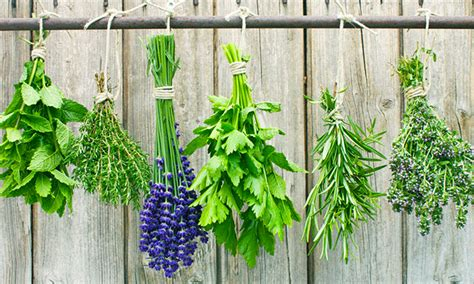 Can You A In Your Backyard by 5 Medicinal Herbs Already Growing In Your Backyard By