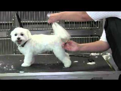 maltese short puppy trim tail youtube