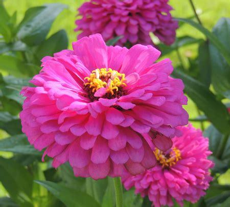grow zinnia annual flowers plants zinnia seeds