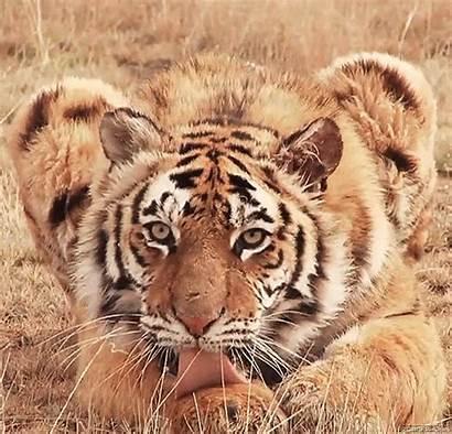 Tiger Gifs Animal Wildlife Furry Animation Lick