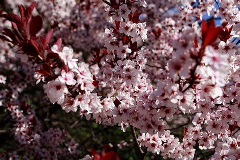 plum tree flowers file plum tree flowers blooms west virginia forestwander jpg wikimedia commons