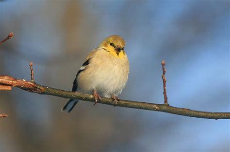 file winter goldfinch jpg wikimedia commons