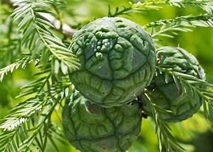 bald-cypress-fruit - Tree Top Nursery & Landscape Inc