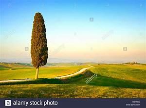 Toskana Zypresse Kaufen : toskana einsame zypresse und wei e landstra e am sonnenuntergang siena orcia tal italien ~ Watch28wear.com Haus und Dekorationen