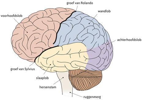 Hersenen spreekbeurt