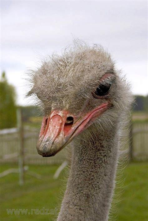 Āfrikas strauss (Struthio camelus, ostrich, Strauß, страус ...