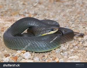 Mean Looking Snake Similar Black Mamba Stock Photo ...