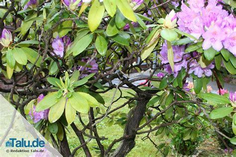 Schwertfarn Giftig Für Katzen by Ist Rhododendron Giftig Vorsicht Bei Katze Und Hund