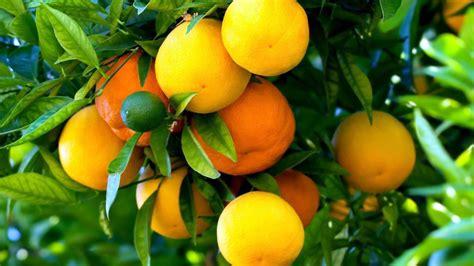 simple ways  grafting fruit trees nature bring